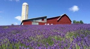 The Endless Fields Of Lavender At Lavender Hill Farm In Michigan Are An Unforgettable Sight