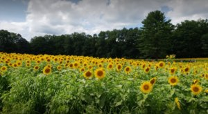 The Sunflower Festival At Coppal House Farm In New Hampshire Is The Bright Spot Your Summer Needs