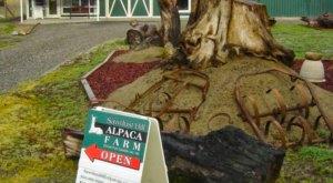 Sawdust Hill Alpaca Farm In Washington Makes For A Fun Family Day Trip