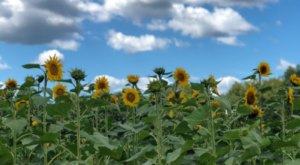 Take A Ride Up To Sunflower Hill To Pick Your Own Sunflowers At Beechwood Farms In South Carolina This Summer