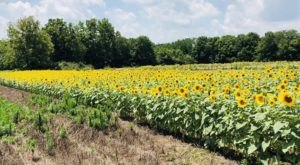 The Sunflower Festival At Kalon's Korner In Kentucky Is The Bright Spot Your Summer Needs