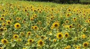 Surround Yourself With Sunflowers At Black River Farms Winery In Pennsylvania