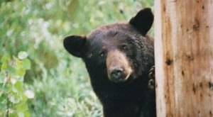 More And More Black Bears Are Being Spotted Throughout Missouri And Here's What You Should Know