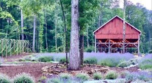 The Endless Fields Of Lavender At Lavender Oaks In North Carolina Is An Unforgettable Sight