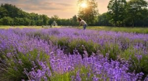 Get Completely Lost In Lavender Pond Farm, A Beautiful 25-Acre Lavender Farm In Connecticut