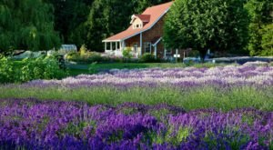 Get Completely Lost In Purple Haze, A Beautiful 12-Acre Lavender Farm In Washington