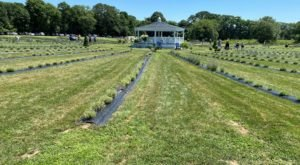 Get Completely Lost In Lavender Waves Farm, A Beautiful 14-Acre Lavender Farm In Rhode Island