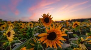 Visit The Sunflower Field In Full Bloom At Verrill Farm In Massachusetts Before They're Gone