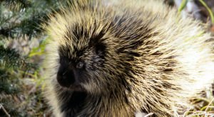More And More Porcupines Are Being Spotted Throughout West Virginia And Here's What You Should Know