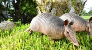 More And More Armadillos Are Being Spotted Throughout South Carolina And Here's What You Should Know