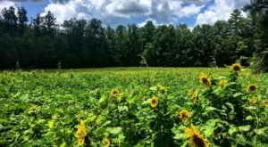 Surround Yourself With Sunflowers At Smithgall Woods State Park In Georgia