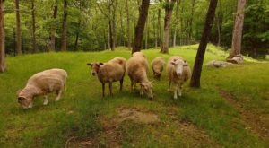 If You Want To See Animals Up Close And Personal, Head On Over To Safe Haven Farm Sanctuary In New York