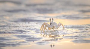 Search For Itty Bitty Ghost Crabs At Delaware's Cape Henlopen State Park After Dark