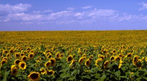The Sunflowers Are Blooming In North Dakota, And It's Truly A Sight To Marvel Over