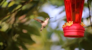 Thousands Of Hummingbirds Are Headed Straight For New Hampshire This Fall