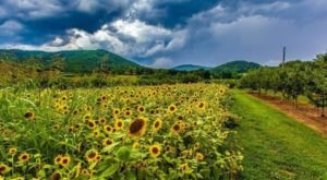 Surround Yourself With Sunflowers At The Peaks Of Otter Winery In Virginia