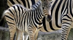 Help Name The New Baby Zebra At Cape May County Zoo In New Jersey