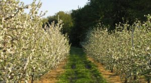 Pick Your Own Blueberries, Apples, Pears And Peaches At Drazen Orchards In Connecticut