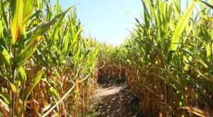 The Buford Corn Maze In Georgia Has Been Voted One Of The Top Autumn Mazes In The Country