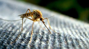 Over 750 Million Genetically Engineered Mosquitoes Will Be Released In The Keys—Here's Why
