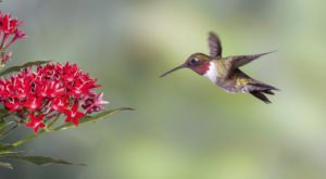 Thousands Of Hummingbirds Are Headed Straight For Maine This Fall