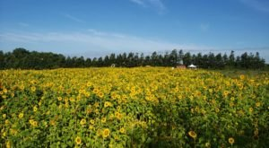 Surround Yourself With Sunflowers At Graham's U-Pick Farms In Florida