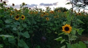 Spend A Sunny Summer Afternoon At Sunflower Ranch, A 1-Acre Sunflower Field In Big Lake, Minnesota