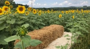 There's A Sunflower Maze Near Pittsburgh That's Just As Magnificent As It Sounds