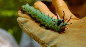 Meet The Hickory Horned Devil, The Monstrously Massive Caterpillar That Thrives In West Virginia