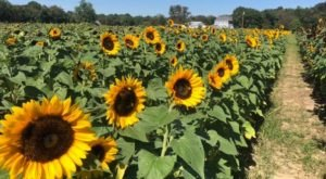 Surround Yourself With Sunflowers At Dalton Farms In New Jersey