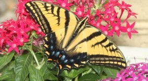 Few People Know That The Two-Tailed Swallowtail Is The Official Insect Of The Grand Canyon State And Here's What You Should Know