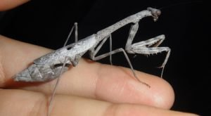 Few People Know The Carolina Mantid Is The Official Insect Of The Palmetto State And Here's What You Should Know