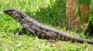 The First Sighting Of A Tegu Lizard Measuring More Than 2.5 Feet Has Just Been Reported In South Carolina