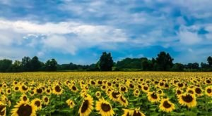 The Endless Fields Of Sunflowers At Frederick Farms In New York Are An Unforgettable Sight