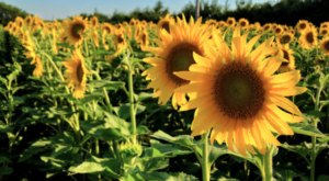 Badger Creek Is Home To An Enormous And Inviting Sunflower Field In Iowa