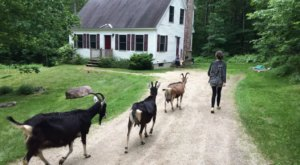 Hang Out With Adorable Goats And Connect With Nature At This Maine Farm Getaway