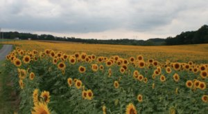 Surround Yourself With Sunflowers During The Sunflower Spectacular At DeBuck's Farm In Michigan
