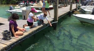 Hungry Tarpon Restaurant In Florida Lets You Feed Tarpons Right From The Deck