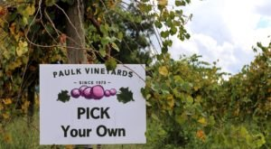 Come Explore The Largest Muscadine Vineyard In The World At Paulk Vineyards In Georgia