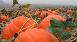 Fall Into The Season With A Weekend Trip To Peebles' Pumpkin Patch And Corn Maze In Arkansas
