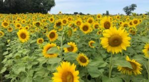 The Festive Sunflower Farm In Wisconsin Where You Can Cut Your Own Flowers
