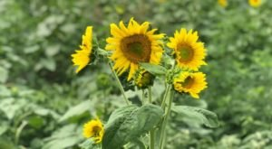 Pick Your Own Sunflowers At This Charming Farm Hiding In Missouri