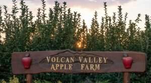 Pick Apples Right Off The Tree At Volcan Valley Apple Farm, An Old-Fashioned U-Pick Farm In Southern California