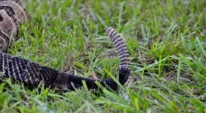 Here Are Six Deadly Snakes Commonly Found In South Carolina You'll Want To Avoid