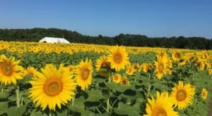 The Festive Sunflower Field In South Carolina Where You Can Cut Your Own Flowers