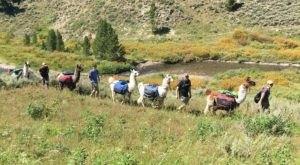 Embark On A Llama Safari Through Yellowstone National Park With This Montana Company