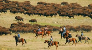 Witness 1,000 Bison Thunder Down The South Dakota Prairie This Fall
