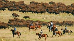 Witness 1,000 Bison Thunder Down The South Dakota Prairie This Fall