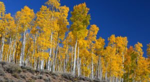 Utah's Pando Is One Of The Oldest Living Things In America
