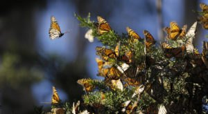 A Butterfly Migration Super Highway Could Bring Millions Of Monarchs Through New Hampshire This Fall